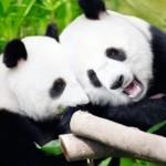 Chengdu - Pandas